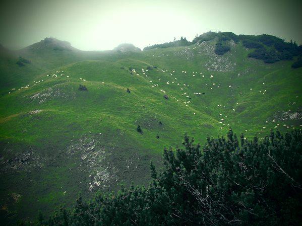 Schafe im Karwendel