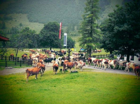 Viehtrieb in Eng im Karwendel