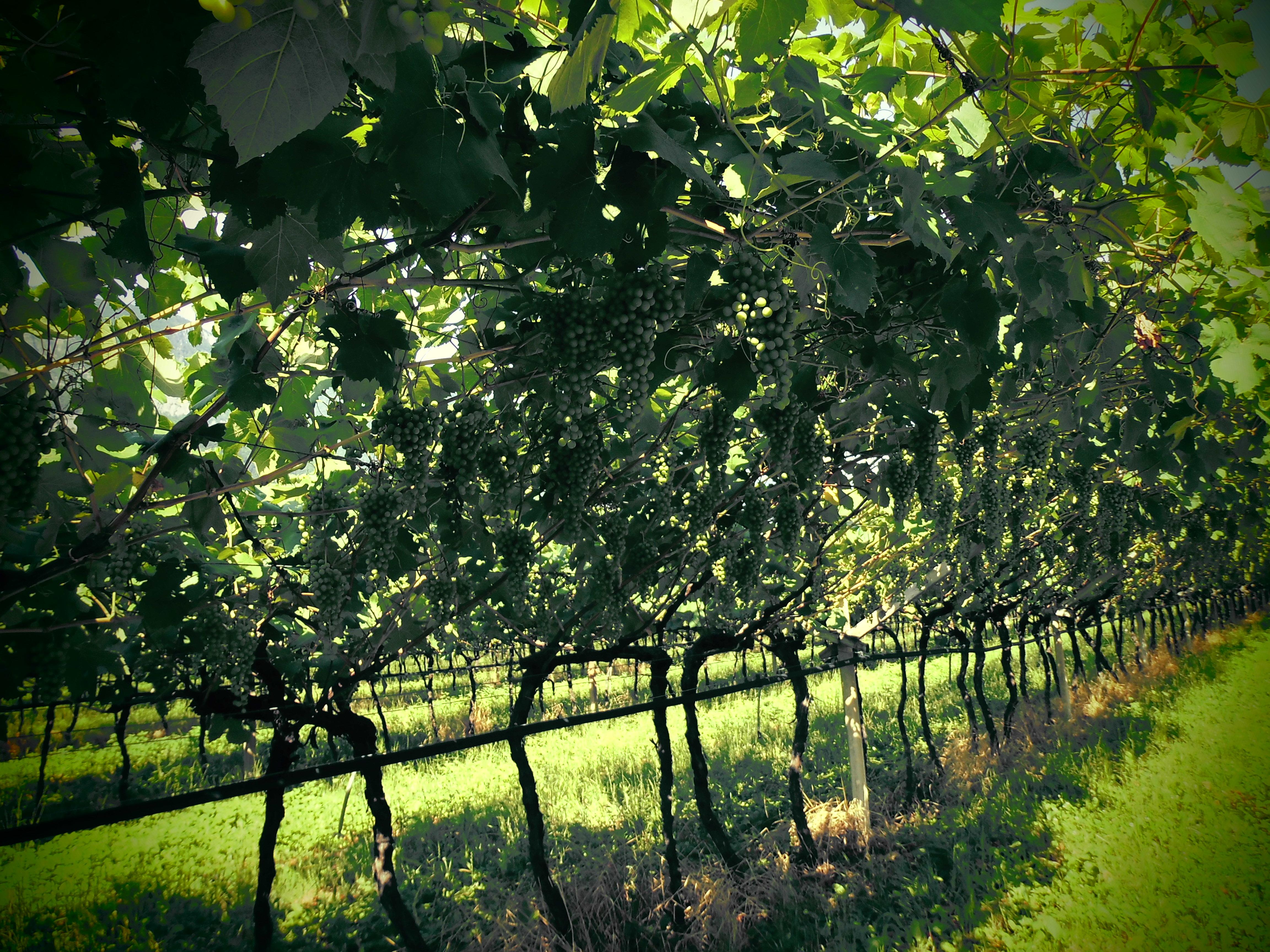 Weinreben Brenta Dolomiten, Italien