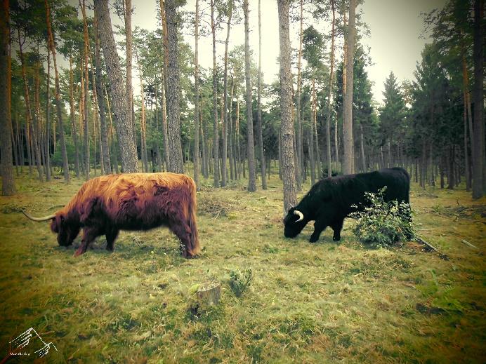Hochlandrinder im Teutoburger Wald
