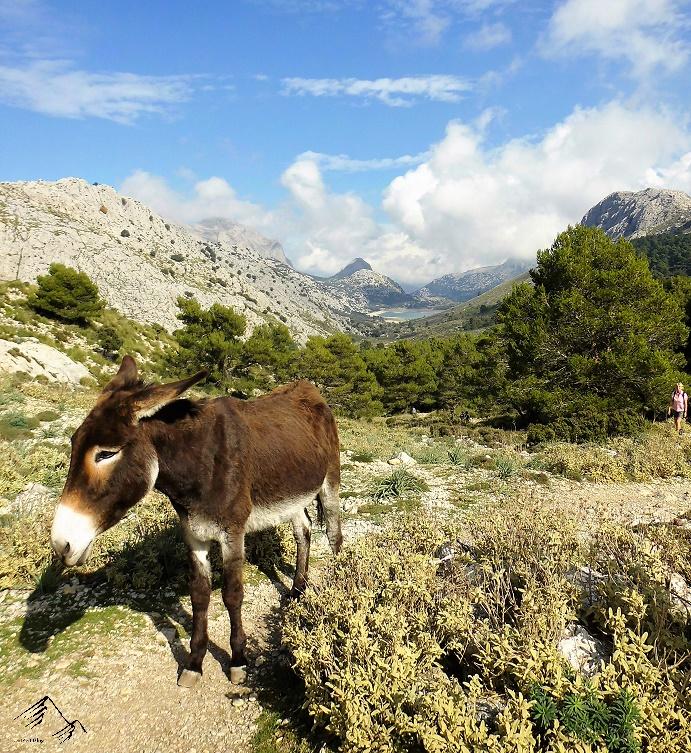Esel am Cúber-Stausee im Tramuntanagebirge auf Mallorca.