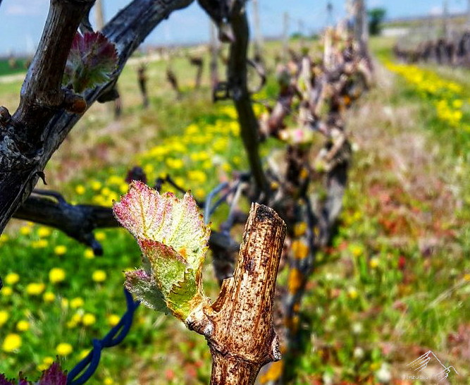 Knospen an der Weinrebe: Weinanbau Petersberg,