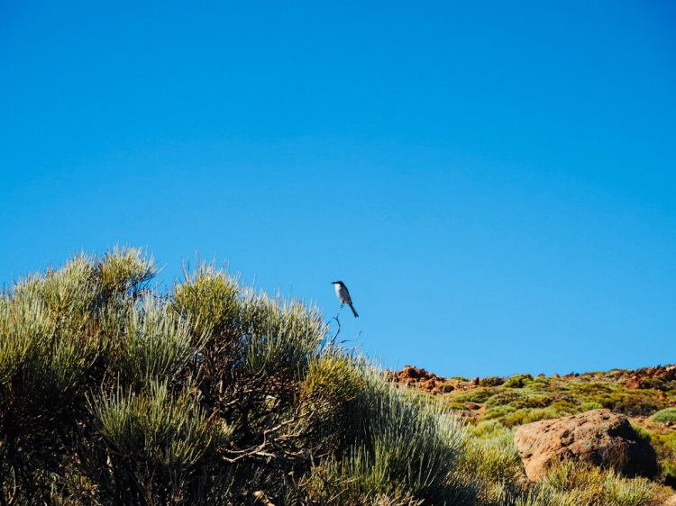 Vogel im Nationalpark El Teide, Teneriffa